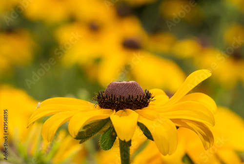 Fotografering  Black-eyed Susan fllower on yellow and green summer background