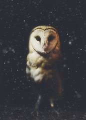 Barn owl winter portrait with dark and snow background. Soft focus on owl head, retouched picture