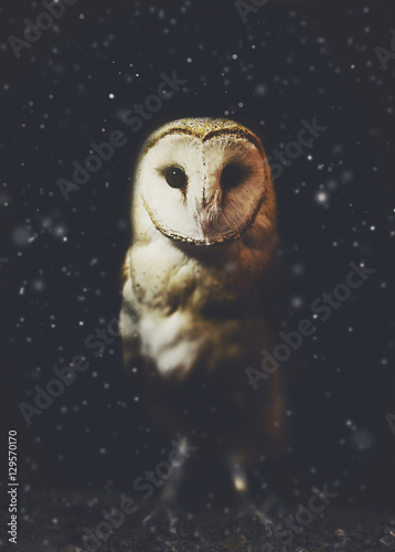 Barn owl winter portrait with dark and snow background. Soft focus on owl head, retouched picture Fototapete