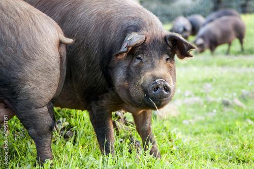Foto  Iberian pigs in the meadow