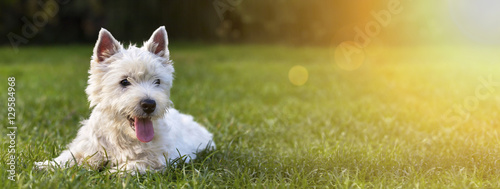 Keuken foto achterwand Hond Website banner of a happy dog puppy as lying in the grass