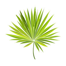 Full Fresh Fan Shaped Leaf Of Palmetto Tree, Vector Illustration Isolated On White Background. Realistic Hand Drawing Of Palmetto Palm Tree Leaf, Jungle Forest Design Element