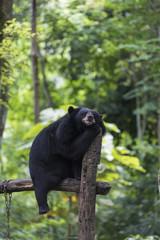 Black Bear resting on wood