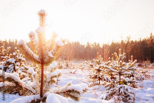 Tuinposter Zwavel geel Sunset Sunrise In Sunny Winter Snowy Forest. Sun Shine Over Winter