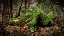 Old Moss-covered Rotting Tree ...