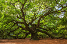 Angel Oak Tree In South Caroli...