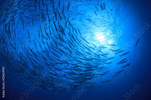 Scuba diving with fish. Barracuda school in ocean