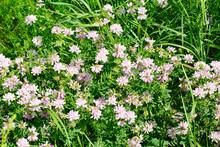 Pink Clover (Trifolium Repens)...