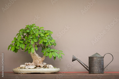 vintage style watering can and Bonsai tree on wood shelf with brown wall background