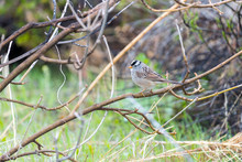 White-crowned Sparrow Perching On A Branch At The Audubon Center
