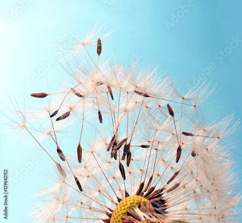 Fototapety, obrazy: Abflug / Flugschirme der Pustblume beim Start :)