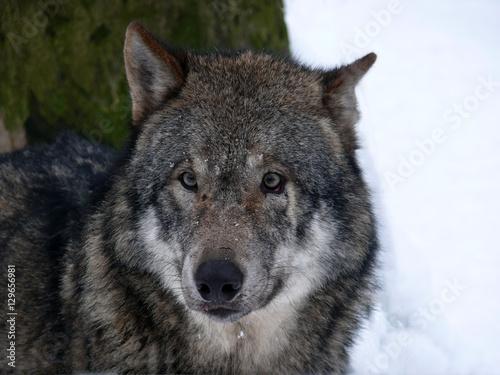 Das Portrait eines Wolfes Wallpaper Mural