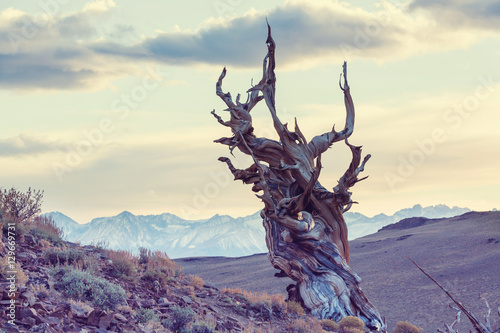 Fotografie, Obraz  Ancient tree