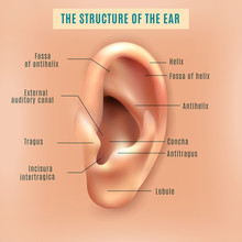 Human Ear Structure Medical Ba...