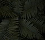 Fern Leaves - 129671975