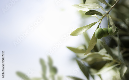 Horizontal image of an olive tree, with free space on the left.