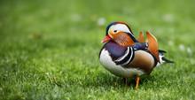 Mandarin Duck On Green Grass