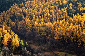 Larch trees and pine trees in autumn season