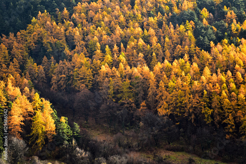Papiers peints Vignoble Larch trees and pine trees in autumn season