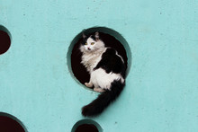 Black And White Long-haired Cat Sits In The Hole On A Turquoise Wall.
