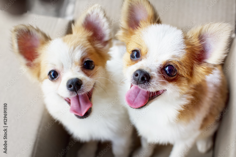 Fototapety, obrazy: cute duo Chihuahua puppy dog