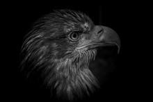 Eagle On Black Background