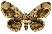 Huge Philippine Brahmin Moth (...