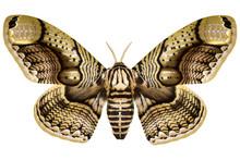 Huge Philippine Brahmin Moth (Brahmaea Hearseyi, Male) Isolated On White Background