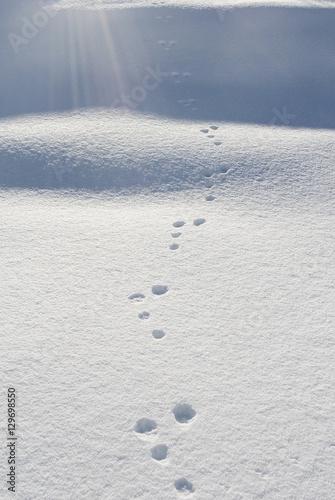 Fotografija  Impronta Lepre sulla neve fresca del Simplon Pass, Svizzera
