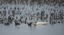 American Coots And Tundra Swan