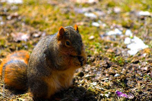 In de dag Zwavel geel Michigan Squirrel