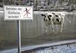canvas print picture - Die Kuh vom Eis holen