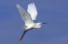 Little Egret In Flight On Blue Sky
