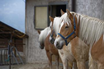 Haflinger Pferde - Meran