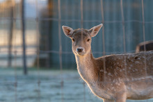 Young Fallow Deer Behind Fence In Early Morning Light.