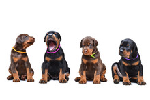 Four Doberman Puppy Sitting In A Row, Isolate On White