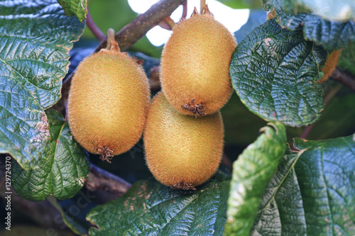 Photo  kiwi grown without the addition of pesticides and herbicides