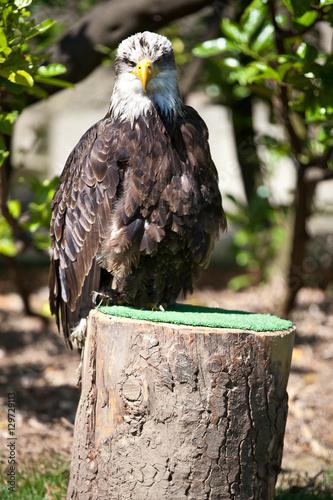 Photo  Falconery Bird of prey, bald eagle