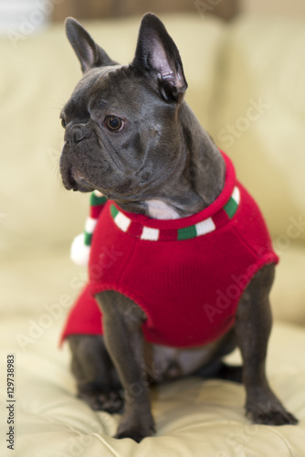 Staande foto Franse bulldog French Bulldog puppy 16
