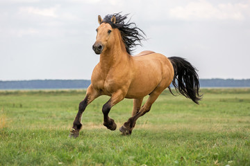 Bay horse running on a meadow.