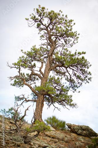 Fototapeta single pine tree obraz na płótnie