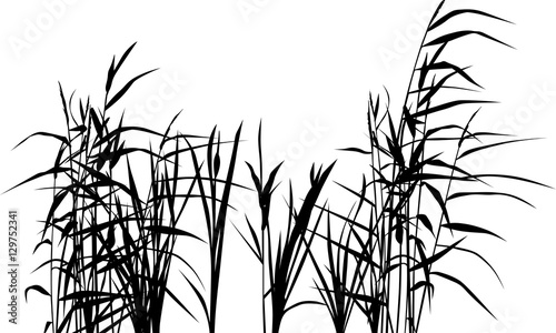 Fototapeta group of reed silhouettes isolated on white obraz na płótnie