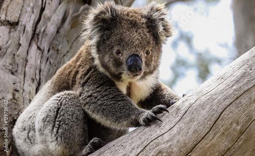 Garden Poster Koala Koala in freier Natur