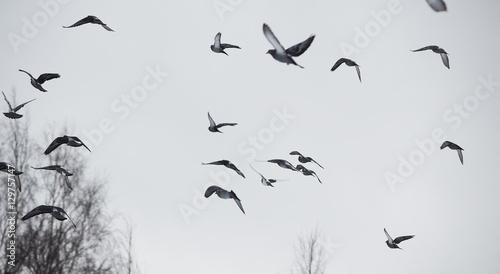 Recess Fitting Bird pigeons in flight