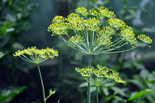 Yellow Flowers Ripe Dill On Vegetable Background Closeup.