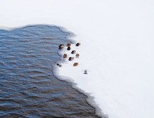 Flock Of Ducks On The Edge Of The Ice Cover In The City Pond