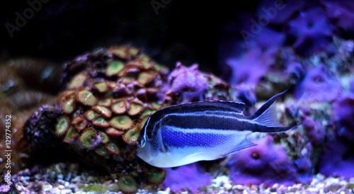 Photo  Bellus Angelfish (Genicanthus bellus)