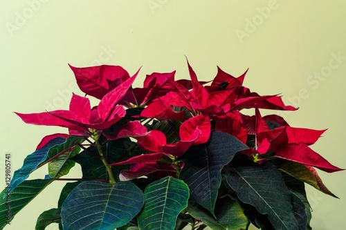 Fototapeta Poinsettia flower indoor. obraz na płótnie
