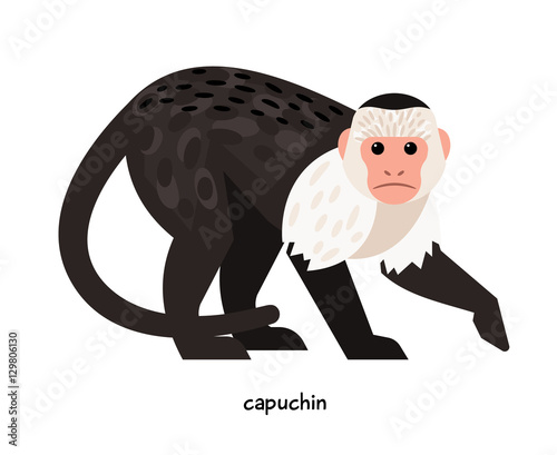 Fotografija  Capuchin - the most popular of all the monkeys, available for home keeping