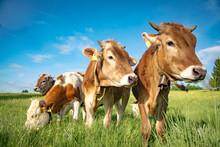 Vier Rinder Auf Einer Weide Im...